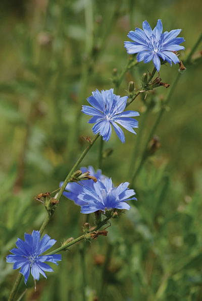 Discovering chicory root | Bakers Journal